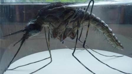 嘬一口透心凉? 揭秘东南亚恐怖的巨型蚊子