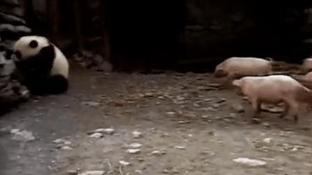 村民捡到野生大熊猫宝宝之后, 这滚滚简直无法无天了