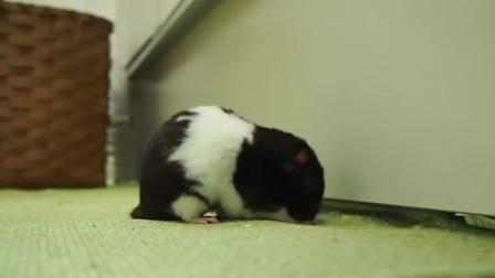 贱萌的小仓鼠,居然咬我家的地毯!