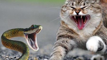 这么大条蛇连只猫都打不过? 网友: 丢人了, 给你们蛇界丢人了!