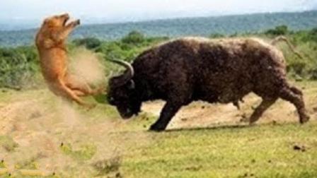 2只狮子围攻野牛! 没想到野牛战斗力爆发, 反而反杀1只狮子!