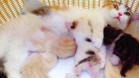 产下四只宝宝的猫咪妈妈身体快被掏空了, 自己生的哭着也只得养大