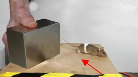 磁王钕磁铁还能浮起老鼠? 这实验看似简单, 实则曾获得诺贝尔奖!