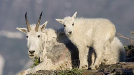山羊在悬崖上生活鲜有天敌, 最怕老鹰使出这招, 转瞬间命丧黄泉