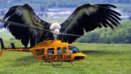 世界上最能飞的鸟类, 敢飞到11000米高空, 能轻松摧毁掉一架飞机