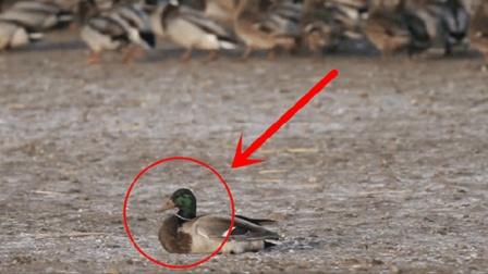 野鸭子突然死亡, 镜头放慢10倍才发现真相, 速度太快了