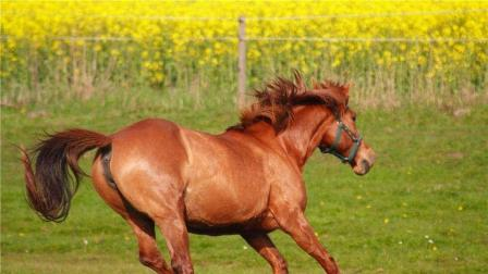两只公马为争母马玩命的打了起来, 看这架势不小, 太精彩了