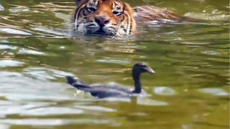 老虎始终抓不住鸭子, 网友: 鸭子记住了, 这是你的巅峰时期