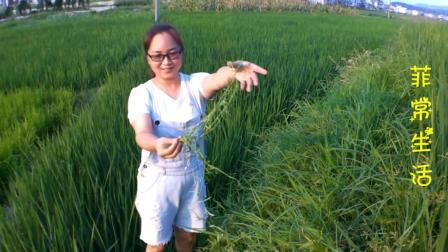 长在田埂上的财富, 传说中的白花蛇舌草! 你知道它有什么用吗?