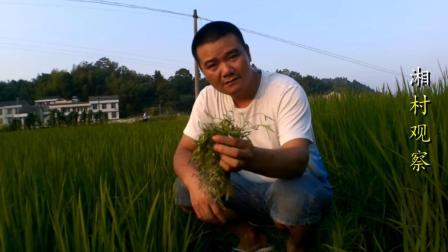 你认识白花蛇舌草吗? 生长在田埂上的它, 是蛇伤和抗癌的明星草药!