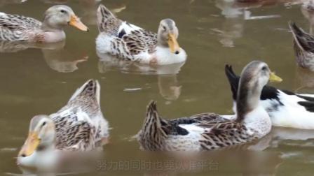 普通人只能看到鸭子划水, 而聪明人却能看到背后大智慧