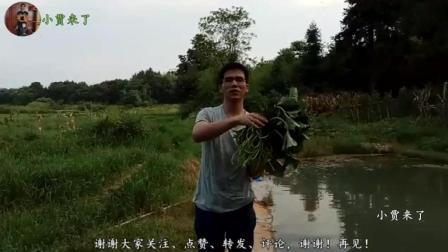 小贾来了: 许久没有吃红薯梗了, 农村小伙上田间采摘一大把, 准备回家做菜吃