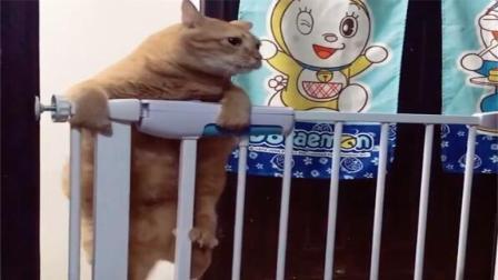 橘猫越狱时, 看到了主人, 喵: 怎么被盯上了, 还是下来吧