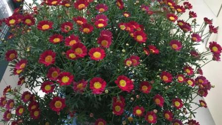 玛格丽特养护方法, 这几点不注意, 难怪黄叶不开花!
