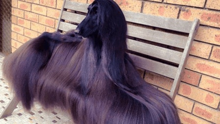 世界上最漂亮的狗, 配种一次赚10万, 主人靠它发家致富了