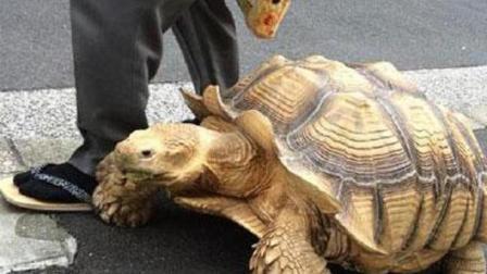 老大爷无聊买了只小龟, 20年来天天带着散步, 一不小心养成巨无霸