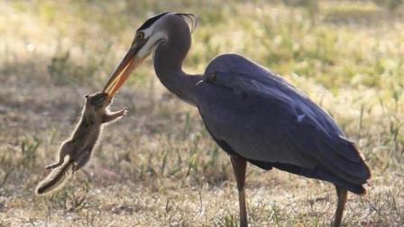 鸟界长颈鹿! 这鸟能把黄鼠狼当辣条吃, 一口一个毫无压力