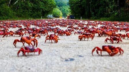 古巴的螃蟹满地爬, 为什么当地人不敢吃? 看完长见识了