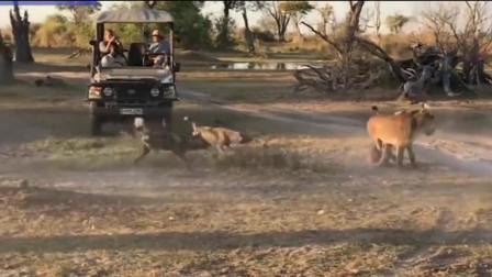 非洲母狮以一敌众 让幼崽逃出野狗大军