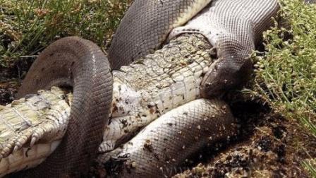 缅甸巨蟒遇上美洲鳄鱼 最后谁会生吞谁 你猜对结局了吗