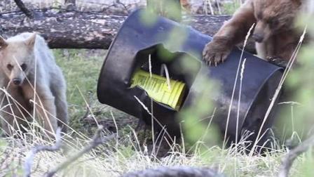 熊口脱险! 加拿大两猎人打猎时遭母熊攻击