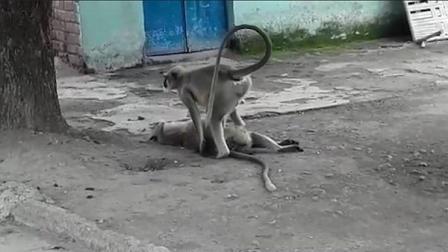 印度猴子触电而亡同类为其实施心肺复苏术