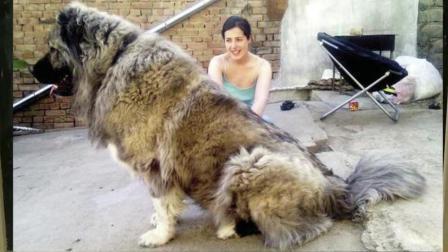 世界上最大的狗和最小的狗你知道吗