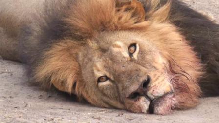 啥? 狮子也有天敌! 看见他们撒腿就跑!