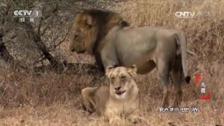 赵忠祥老师解说动物世界, 交配的季节狮子也是蛮拼的