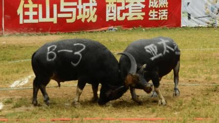 乡村斗牛: 为了最后的胜利, 扣碰已经让两头牛头上鲜血直流