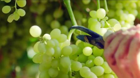 吐鲁番山脚下天山雪水灌溉的葡萄  你知道葡萄干是怎么做出来的吗