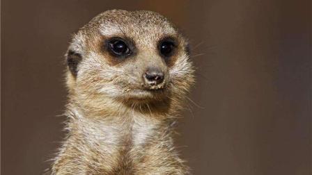 哪种动物拥有最敏感的洞察能力? 猫鼬和灰兔真实大比拼!