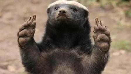 蜜獾为啥谁都不怂? 谁给它的勇气? 今天可算是知道原因了!