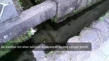 7天造景 日本排水沟的锦鲤
