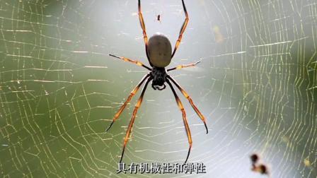 """蜘蛛的""""丝""""有多厉害? 虽比头发细, 但其承重力却是钢琴线的5倍"""