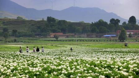 只吃过土豆, 还没见过土豆花? 带你看山西岚县土豆花开美不胜收!