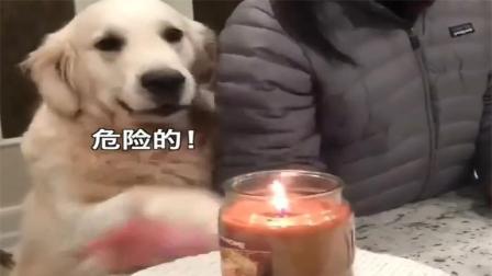 金毛为主人操碎心, 汪: 别碰很危险! 不准玩火, 这么大人了!
