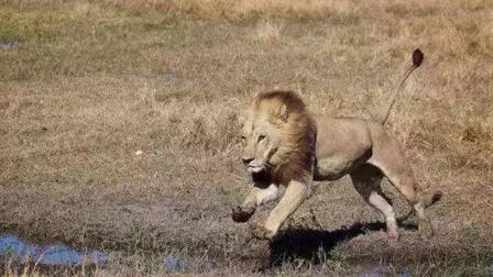 鬣狗吓跑了母狮的猎物! 发怒的母狮直接一口咬死鬣狗