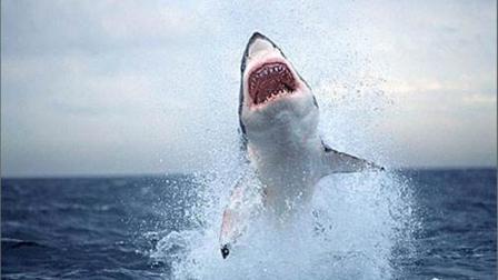 鳄鱼与鲨鱼大海中争抢食物, 不是有视频记录真是不敢相信
