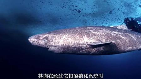 海洋最长寿的生物, 其体型巨大且凶残无比, 曾在体内发现马的尸体