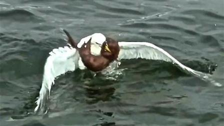 这只黄鼠狼真是成精了, 和海鸥把战场选在海里, 厮杀相当激烈