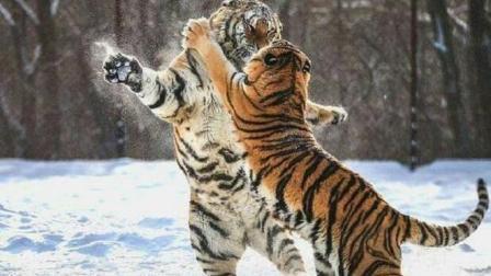 十只藏獒能打得过一只东北虎吗? 看完你可能都不敢相信