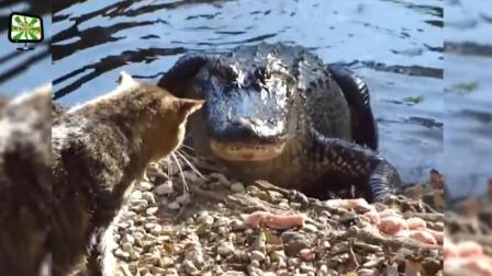 猫咪大战眼镜蛇 黑熊 鳄鱼, 本喵今天就让你们知道什么叫做王者