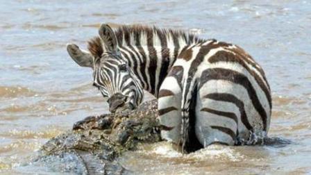 《动物传奇》一吨大的尼罗鳄是如何捕食斑马