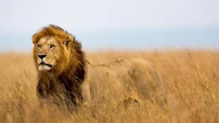 《自然传奇》狮子都是近亲繁殖