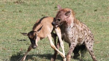 猎奇: 鬣狗偷袭牛羚遇到尴尬, 对方是个'武林高手'