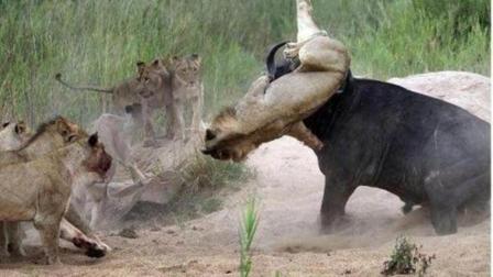 落单野牛遭到9只狮子围攻! 野牛发威踢残一只后潇洒离去