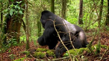 雌性大猩猩选了一只它认为最好的雄性做配偶,而原因让人想不到!