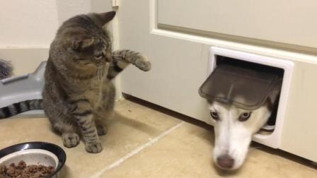 哈士奇: 自从家里养了猫, 我在家里的地位就一天不如一天了!