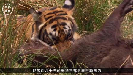世界上一千斤的野猪王, 挑衅东北虎? 它俩谁会赢?